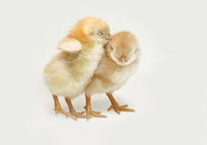 Chicken. Couple of newly born chicken Stock Photography