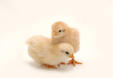 Chicken. A couple of chicken on white background Stock Images