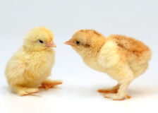 Chicken. Two newly born chicken on white background Stock Image