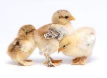 Chicken. 3 newly born chicken on white background Stock Image
