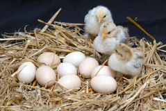 Chicken. And eggs on straw Royalty Free Stock Photos