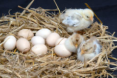 Chicken. Newly born chicken on black background Royalty Free Stock Image