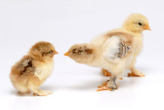 Chicken. Three newly born chicken on white background Royalty Free Stock Image