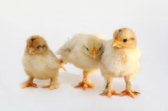 Chicken. Three newly born chicken on white background Royalty Free Stock Images