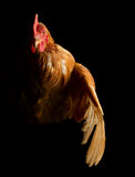 Chicken. Brown chicken on black background Royalty Free Stock Images