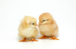 Chicken. Two newly born chicken on white background Royalty Free Stock Photos
