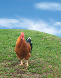 Chicken. Or Rooster on green hill with sky Royalty Free Stock Image