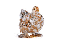 Chicken. Colourful Chicken in front of a white background stock photo
