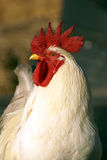 Chicken. Big male chicken, red hood and white feathers, head turned to watch the camera Royalty Free Stock Photo