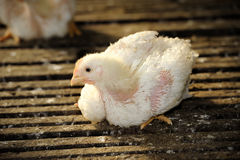 Chicken (25 days old) Stock Images