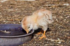 The chicken. On the court Royalty Free Stock Photography