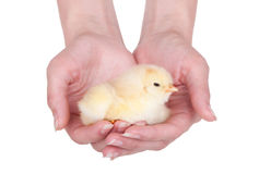 Chicken. Little chicken in hands, isolated on white Royalty Free Stock Photos