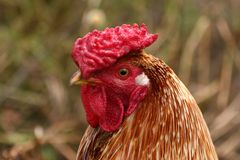 Chicken. Brown chicken in the village Royalty Free Stock Photo
