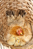 Chicken. The chicken brood in the bamboo basket stock images