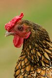Chicken. Close up head portrait of a chicken royalty free stock images