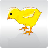 Chicken. Cute little yellow baby chick Royalty Free Stock Photography