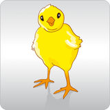 Chicken. Cute little yellow baby chick Royalty Free Stock Images