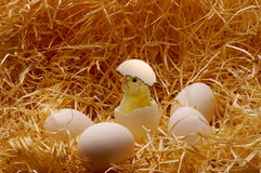 Chicken. Newborn chicken in an surrounded of eggs Stock Photo