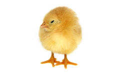 Chicken. Small yellow chicken isolated on white Stock Photo