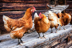 Free Chicken Stock Photo - 48820580