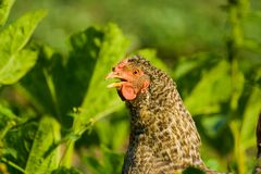 Chicken. Close up of a chicken on a lawn Royalty Free Stock Photo