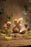 Chicken. Two chiken and broken egg Stock Images