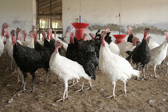 Chicken. S waiting for food in farm Royalty Free Stock Images