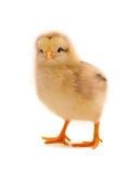 Chicken. Who is represented on a white background Stock Image
