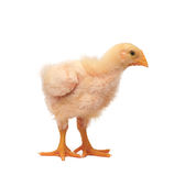 Chicken. Who are represented on a white background Royalty Free Stock Photography