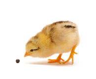 Chicken. Who pecks a pea Royalty Free Stock Photo