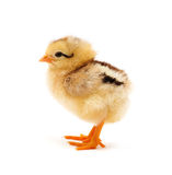 Chicken. Who is represented on a white background Royalty Free Stock Images