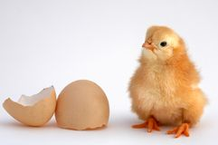 Chicken. That finishes being born Royalty Free Stock Photo