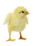 Chicken against white background Stock Image