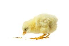 Chicken against white background Stock Photos