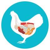 Chicken anatomy. digestive system. Chicken anatomy. digestive system of the chicken. inside view stock illustration