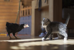 Free Chicken And Kitten Royalty Free Stock Image - 14628656