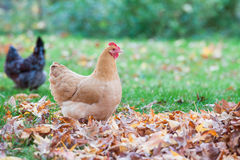 Chicken in autumn leaves Stock Photography