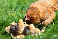 Chicken with babies Royalty Free Stock Photo