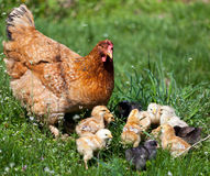 Chicken with babies Royalty Free Stock Images