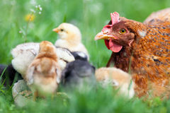 Chicken with babies Stock Images