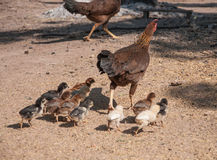 Chicken with babies Stock Photography