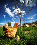 Chicken with babies Royalty Free Stock Image