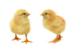 Chicken - baby friends Stock Photography