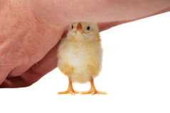 Chicken baby hide Royalty Free Stock Image