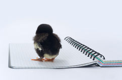 Chicken backwards and a notebook. Stock Photo