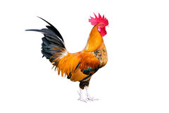 Chicken bantam ,Rooster crowing isolated on white (Die cutting) stock photo