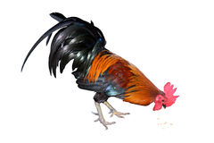 Chicken bantam ,Rooster eating isolated on white (Die cutting) Royalty Free Stock Photography