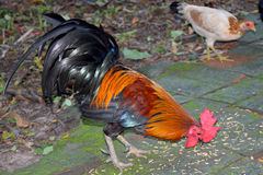 Chicken bantam ,Rooster eating rice on floor Stock Photo