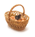 Chicken in a basket. Chicken who is in a basket with eggs Royalty Free Stock Photo
