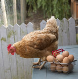 Chicken and basket of eggs Royalty Free Stock Image
